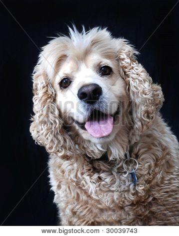 American Cocker Spaniel dog.