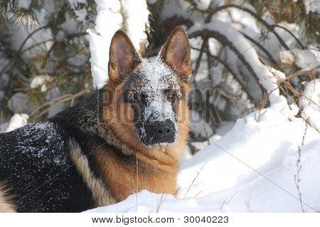 German Shepard Dog in the winter forest.Near Kiev,Ukraine