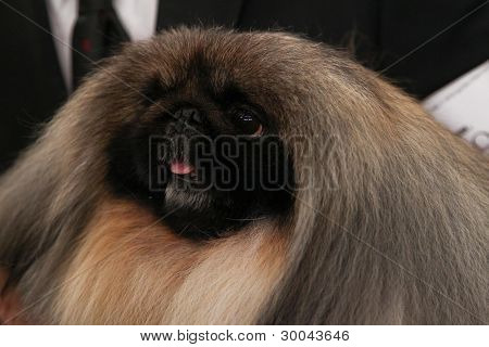 NEW YORK - FEBRUARY 14: Pekingese Malachy poses for photos after winning Best in Show at the Westminster Kennel Club Dog Show on February 14, 2012 in New York City.