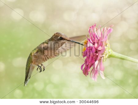 Dreamy image of a Ruby-throated Hummingbird feeding on a pink Zinnia flower