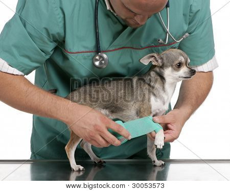 Vet wrapping a bandage around a Chihuahua's paw in front of white background