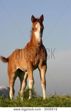 Foal On Hill