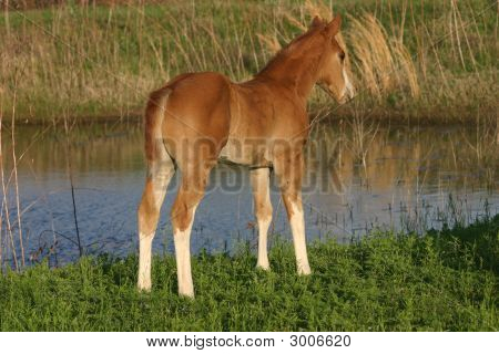 Foal At Pond