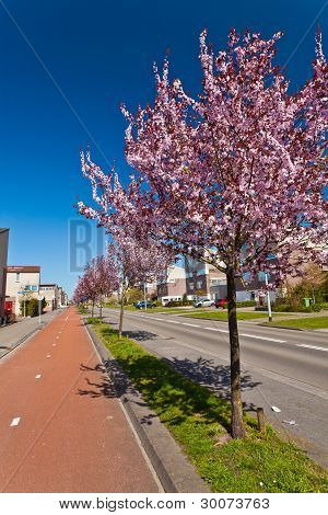 Row Of Blossom Trees In Bloom