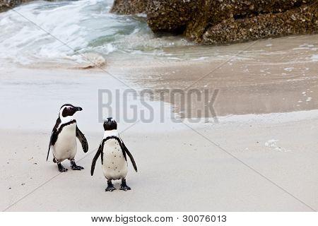 Schwarzfüßiger afrikanischen Pinguine am Strand