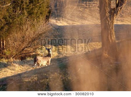 Wild Deer Visible Through Long Grass