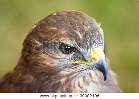 Closeup Of A Common Buzzard