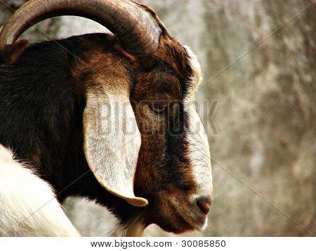 Wild Mountain Goat