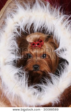 Yorkshire Terrier In A Fur House