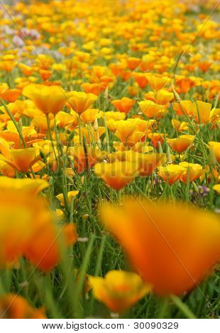 Spring Flower Bed (eschscholzia Californica).