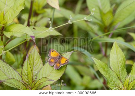 Gatekeeper Butterfly (pyronia Tithonus)
