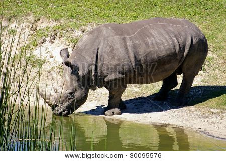African Rhino Drinking