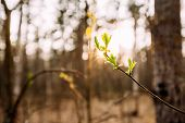 Sunlight Sun Rays Shine Through Young Spring Green Leaf Leaves Growing In Branch Of Forest Bush Plan poster