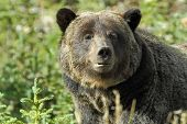 Brown Bear. Bear (ursus Arctos) Is A Predatory Mammal Of The Bear Family. One Of The Largest Land Pr poster