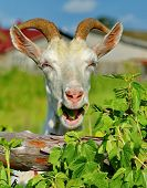 A Merry Goat. Portrait, Closeup. Smile For The Photographer. The Goat Is One Of The First Domesticat poster