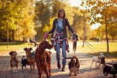 Happy dog walker woman enjoying with dogs while walking outdoors poster