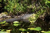 image of airboat  - Alligator and wildlife of the Everglades National Park - JPG