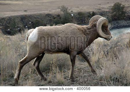 Bighornsheep