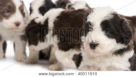 Close up on a Bearded Collie puppy, 6 weeks old, and with others in the background against white background