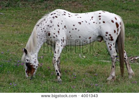Horse Of The Nez Perce Indians