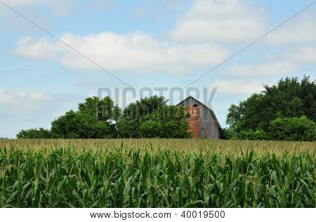 Old barn and corn field