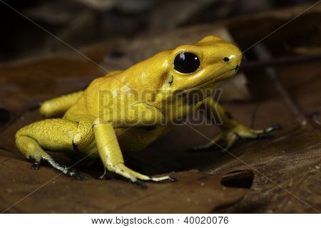 poison dart frog Phyllobates terribilis poisonous animal of tropical Amazon rain forest Colombia
