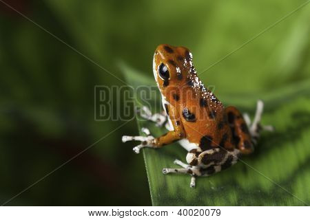 poison dart frog red amphibian of tropical rainforest in Panama Bocas del Toro oophaga pumilio poisonous animal of rain forest jungle