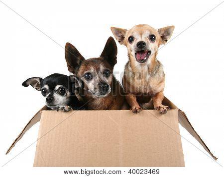 tres chihuahuas en una caja de cartón