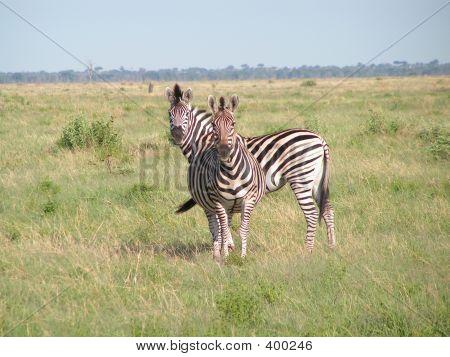 Zebra In Botswana