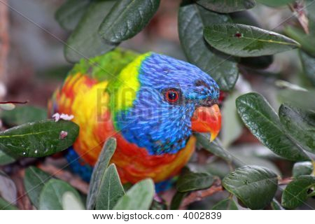 Mr.Lorikeet