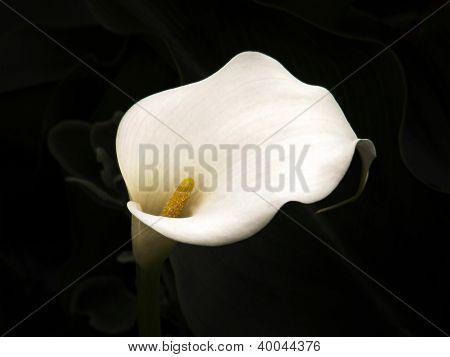 Arum lily on dark background