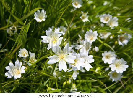 Douglas' Meadowfoam, Limnanthes Douglasii