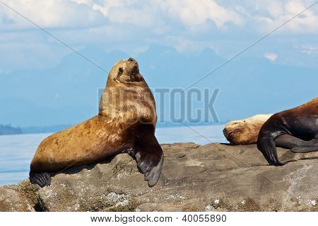 Stellar Sea Lions on a rock