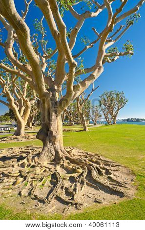 Big trees in Embarcadero Marina Park, San Diego, California.