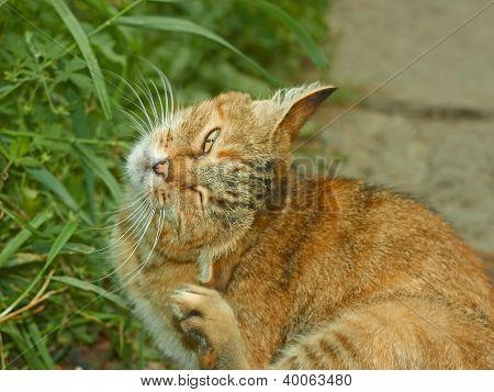 Striped Pussycat Scratching Fleas