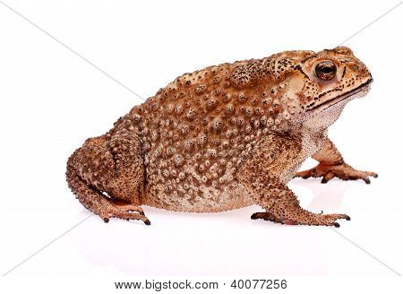 Toad  Sit On White