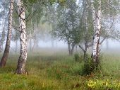 stock photo of birchwood  - The dense fog fell to a birchwood - JPG