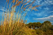 picture of pampas grass  - Tall pampas grass in autumn against a beautiful blue sky - JPG