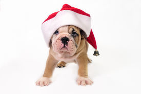 stock photo of christmas puppy  - Cute English bulldog puppy wearing a santa hat. ** Note: Slight graininess, best at smaller sizes - JPG