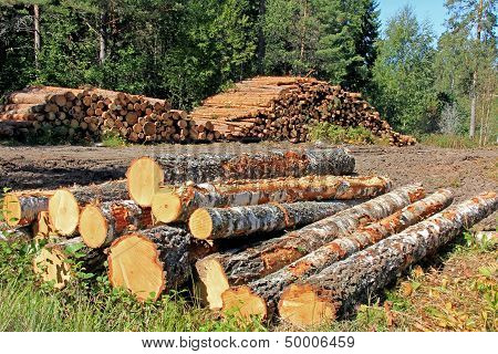 Timber Logging In Forest
