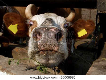 Cow Standing In A Stall