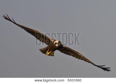 Eurasian March-harrier