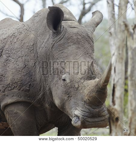 Rhinoceros with sleepy eye