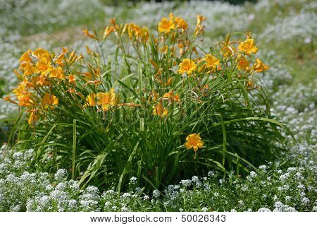 Daylily on a flower bed in a garden
