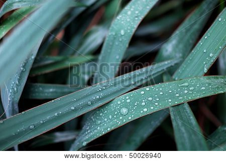 Dark Green Leaves And Water Drops