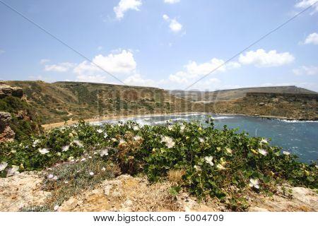 Caper Plant In Full Flower, Malta
