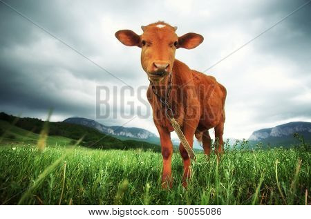 ��¡alf on meadow. Farm life.