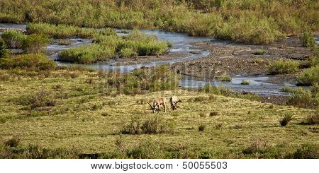 Caribou in River Bed