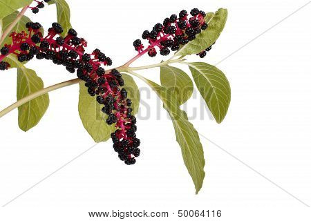 with poisonous pokeweed berries isolated