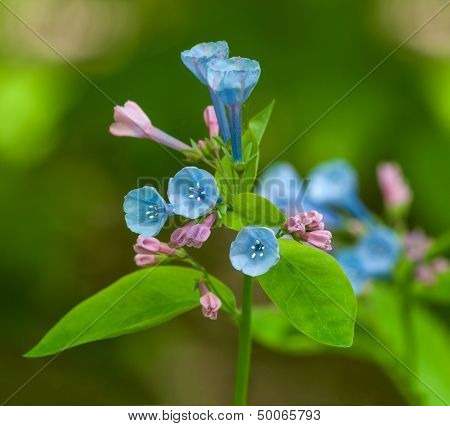 Virginia Bluebell (Mertensia virginica) Flowers